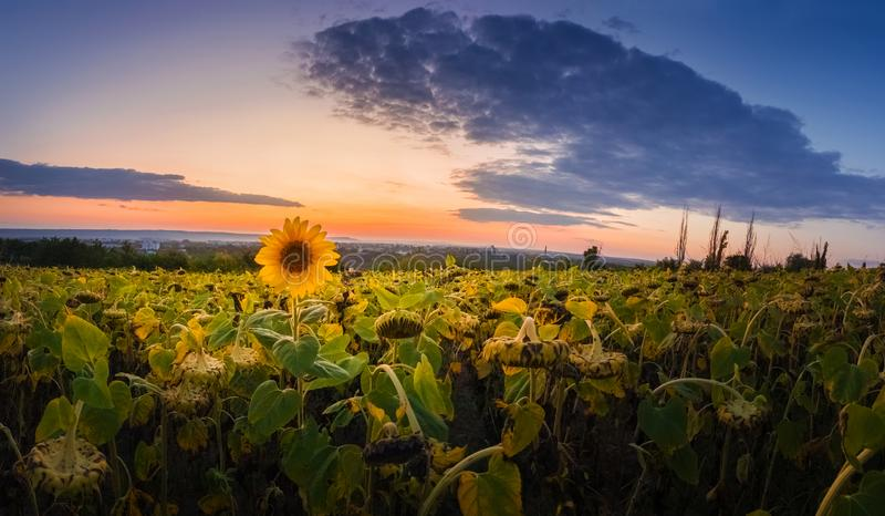Panoramic scene of sunflower field over sunset sky background. Single late, yellow flowering plant among the crop of sunflower. Panoramic scene of sunflower royalty free stock photography