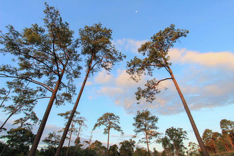 Panoramic scene of trees with blue sky background stock image