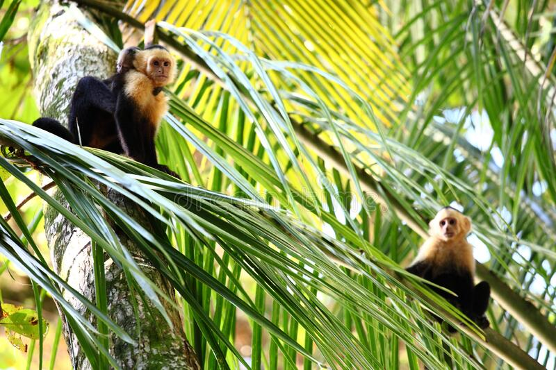 Panoramic shot of a Capuchin monkey family resting on palm leaves in a forest. A panoramic shot of a Capuchin monkey family resting on palm leaves in a forest royalty free stock photo
