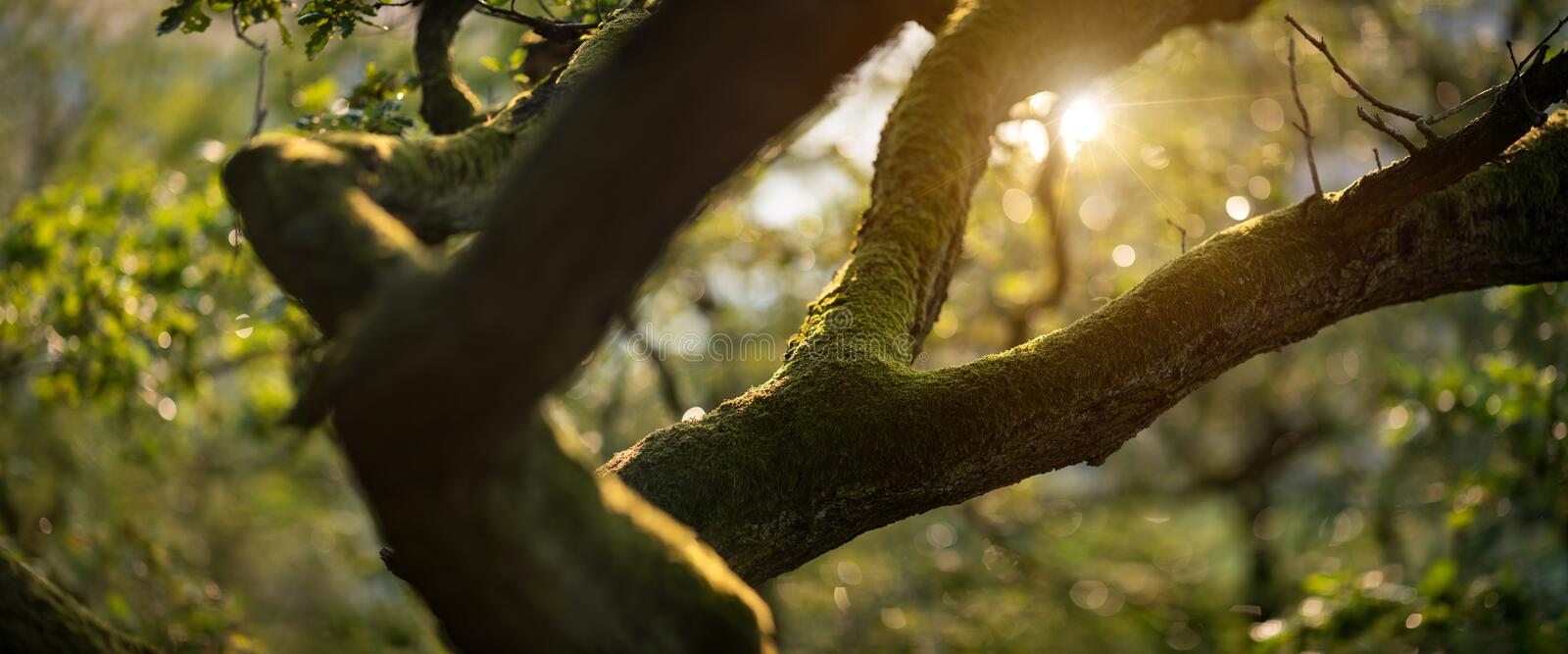 Panoramic shot of the moss covered branch royalty free stock photos
