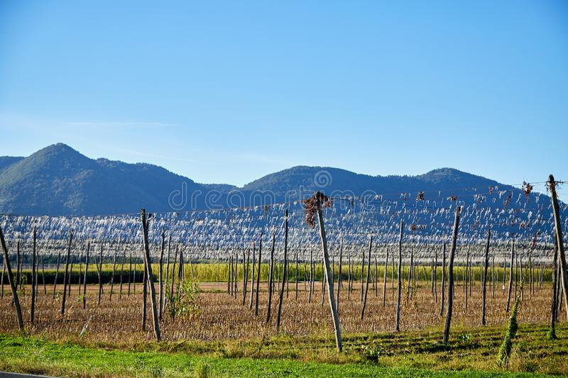 Panoramic shot of a summer vineyard without grapes in the autumn. Day and blue sky background stock photos