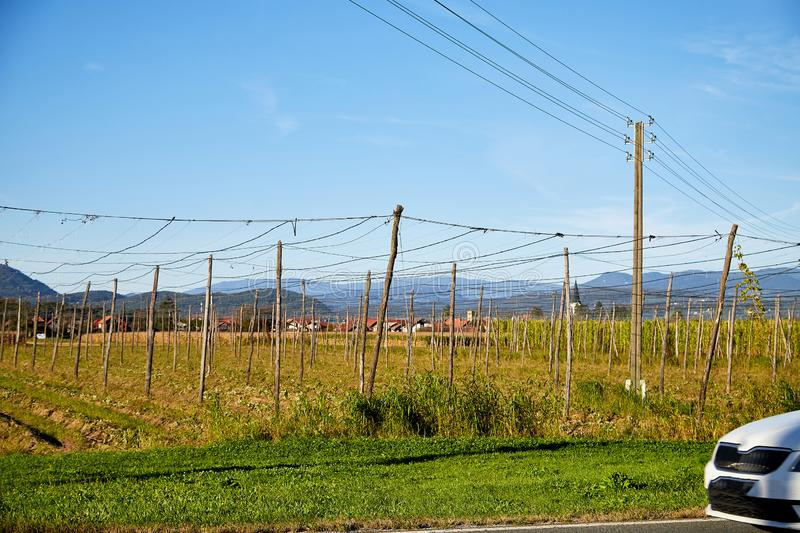 Panoramic shot of a summer vineyard without grapes in the autumn. Day and blue sky background royalty free stock photo