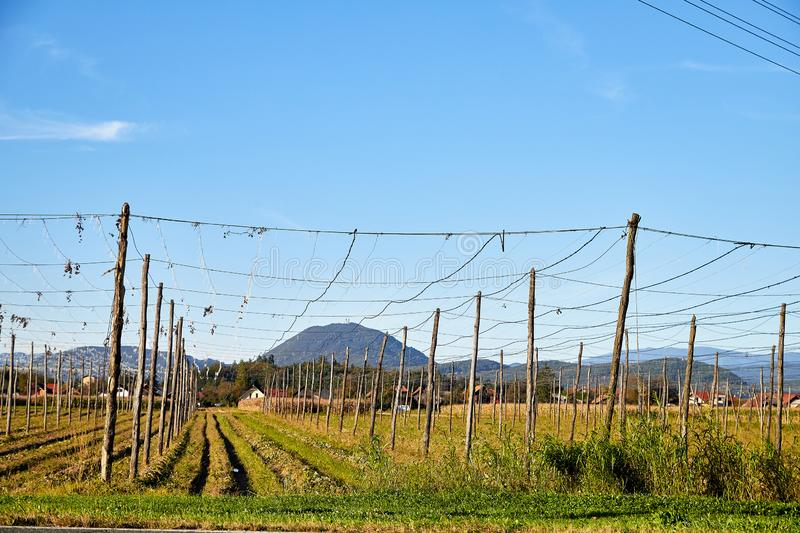 Panoramic shot of a summer vineyard without grapes in the autumn. Day and blue sky background stock photo