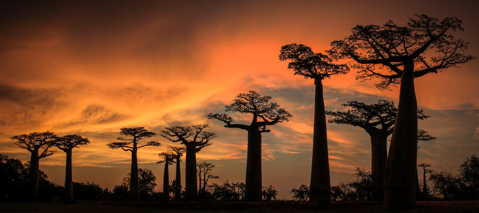 Panoramic sunset on the Avenue or Alley of the Baobab, Menabe, Madagascar. The Avenue or Alley of the Baobabs is a prominent group of baobab Adansonia royalty free stock photos