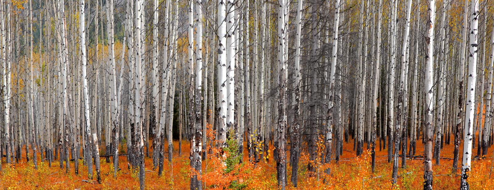 Panoramic view of Aspen trees in autumn time stock photos