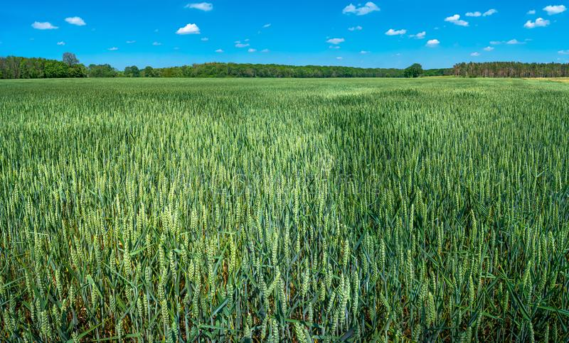 Panoramic view of beautiful farm landscape of green wheat field in late Spring, beginning of Summer in Europe royalty free stock images