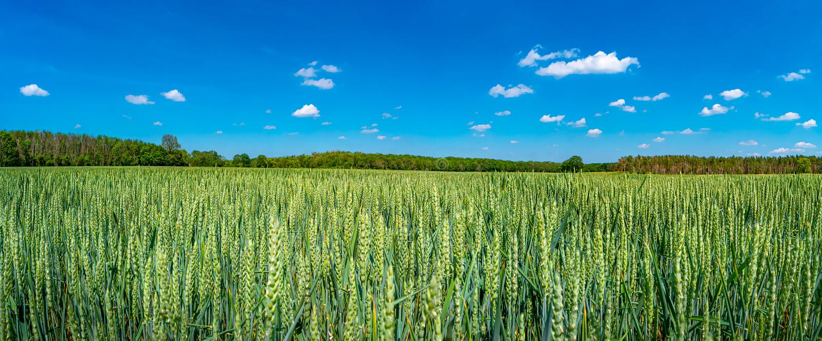 Panoramic view of beautiful farm landscape of green wheat field in late Spring, beginning of Summer in Europe royalty free stock photography