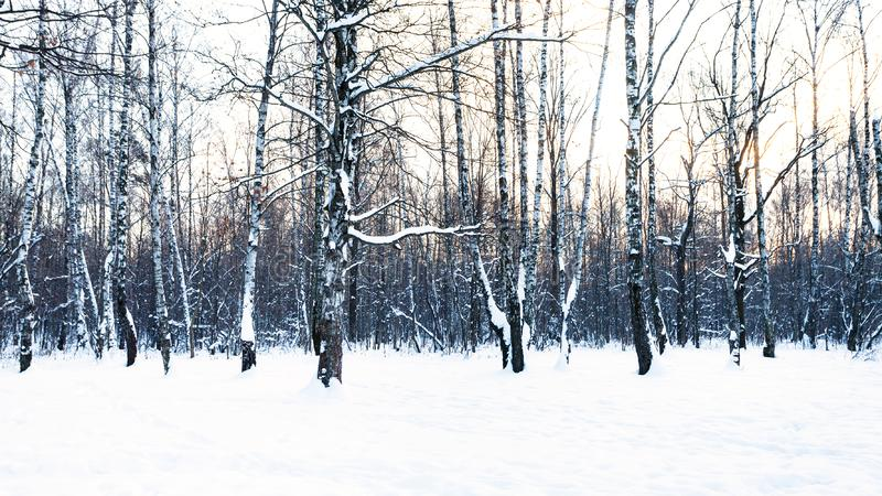 Panoramic view of birch grove in snow-covered park stock images