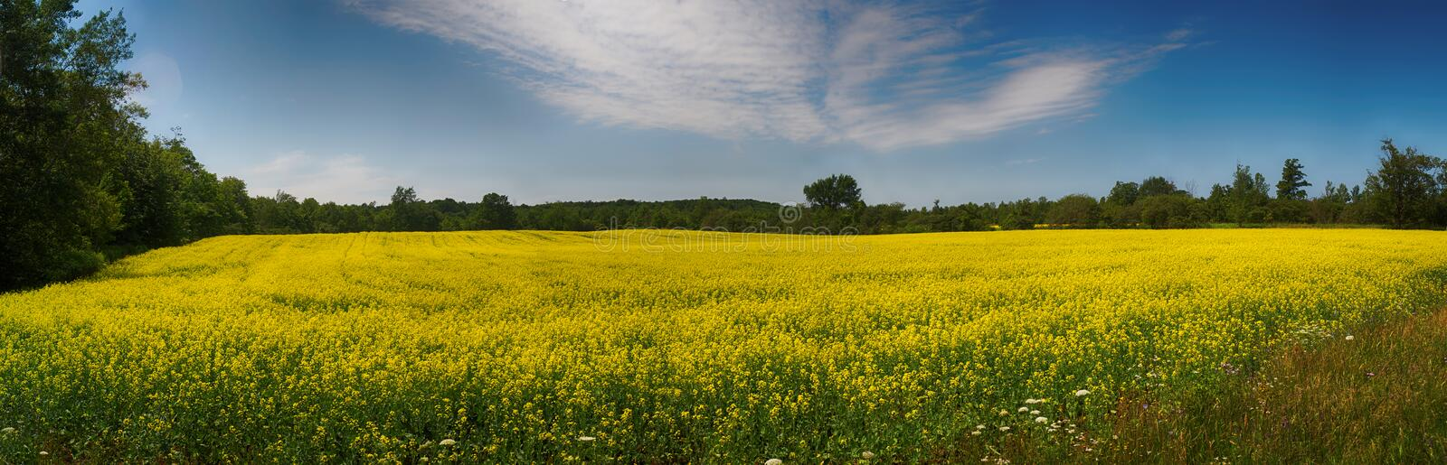 Panoramic view of blooming yellow rapeseed field in Collingwood, Ontario royalty free stock photography