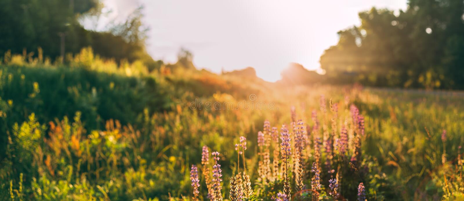 Panoramic View Of Bloomy Glade Of Wild Flowers Lupine On Summer. Panoramic View Of The Bloomy Glade Of Wild Flowers Lupine On Summer Spring Meadow Field In stock images