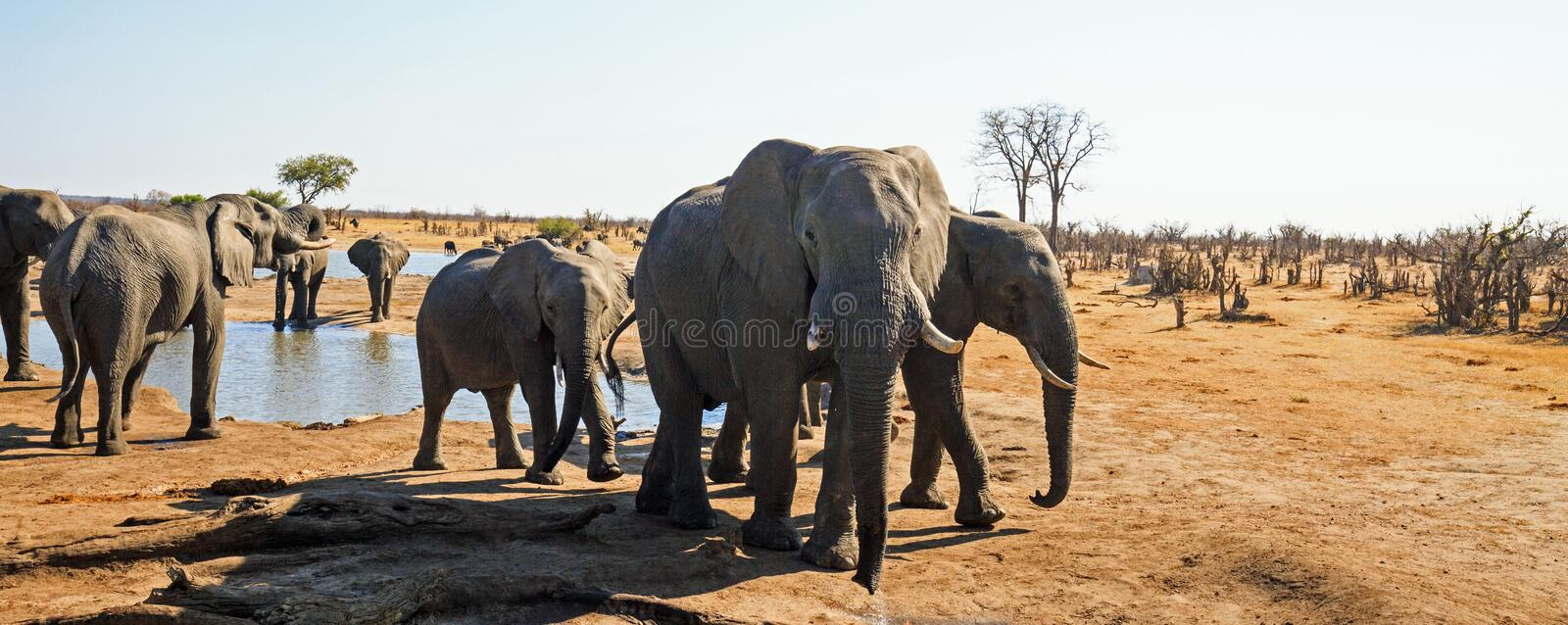 Panorama of a herd of elephants drinking close to the camp waterhole in Hwange National Park, Zimbabwe stock image