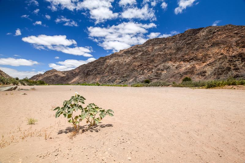 Panoramic view of the dry riverbed and a plant near Ai-Ais Hot Springs at Fish River Canyon, Namibia. Panoramic view of the dry riverbed and a plant near Ai-Ais royalty free stock photos