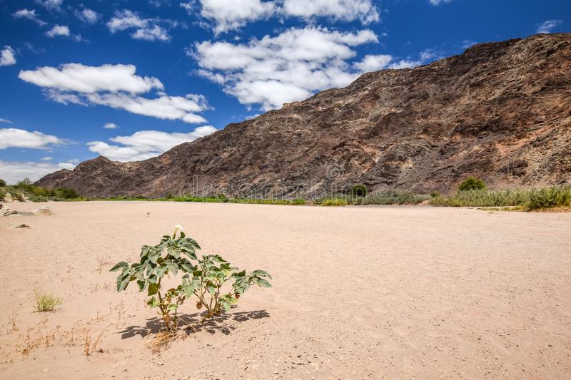 Panoramic view of the dry riverbed and a plant near Ai-Ais Hot Springs at Fish River Canyon, Namibia. Panoramic view of the dry riverbed and a plant near Ai-Ais stock photography