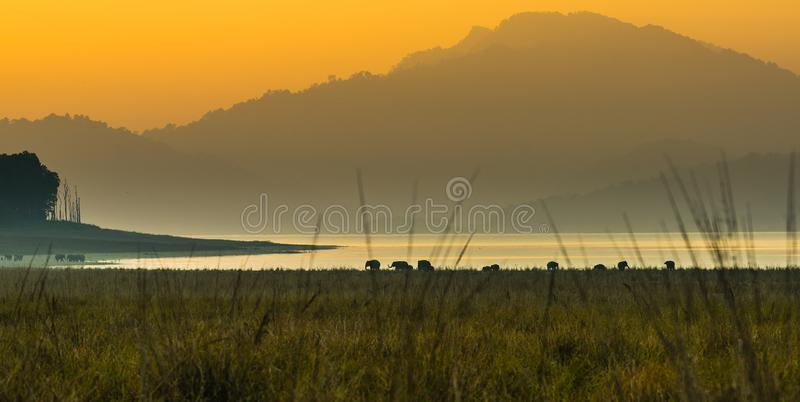 Panoramic view with Elephants at Jim Corbett. A panoramic view of grasslands at Dhikala zone of Jim Corbett National park royalty free stock image