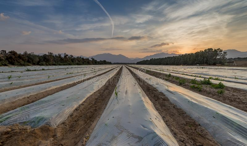 Field with cultured seeds in desert areas of the Middle East. Panoramic view on field with cultured seeds and young plants of corn covered by plastic film royalty free stock photography
