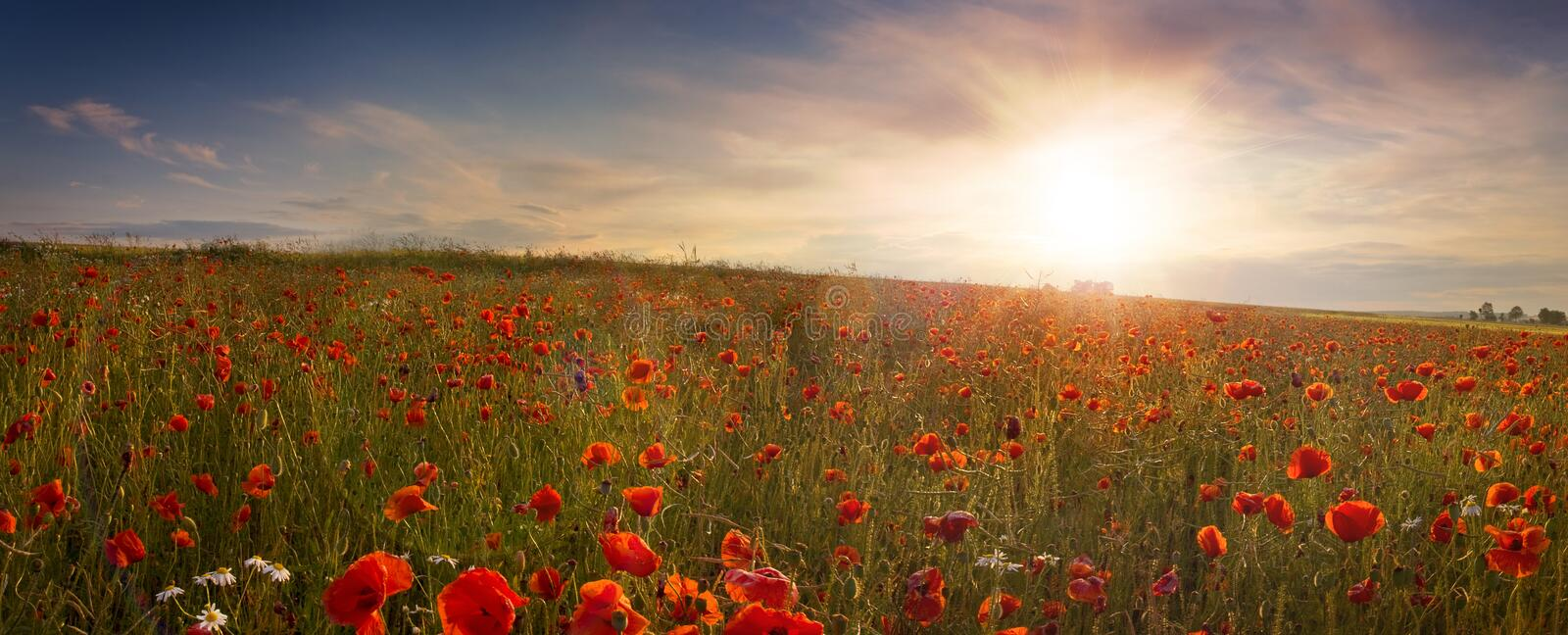Panoramic view of field of poppies at sunrise stock photos