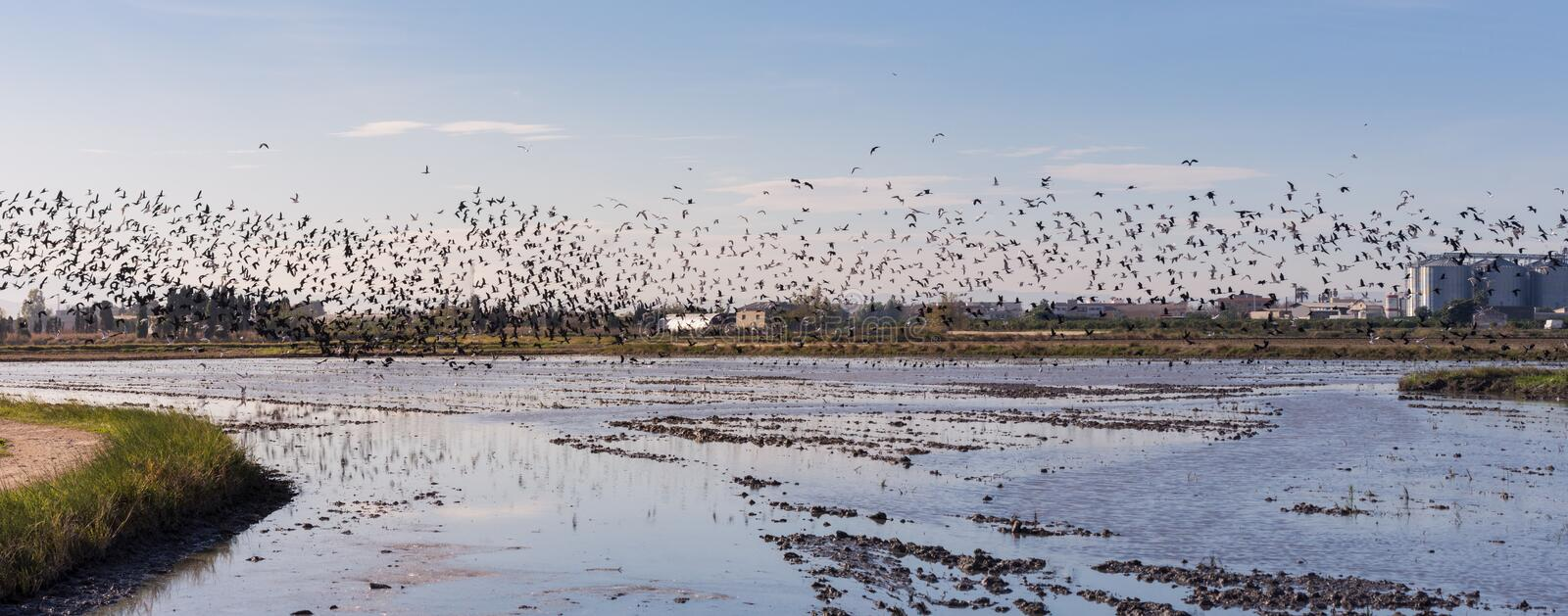 Panoramic view of a flock of birds in the natural park of Albufera at sunrise, Valencia, Spain stock photo