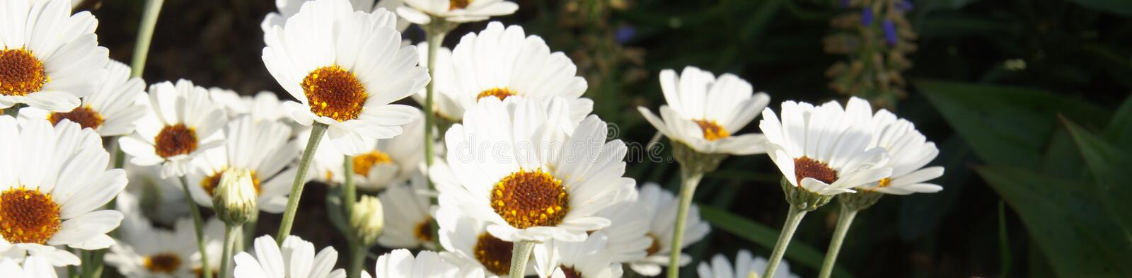 Panoramic view of Flowering of daisies. marguerites Leucanthemum are a genus of flowering plants in the daisy family. Flowering of marguerites Leucanthemum stock photography