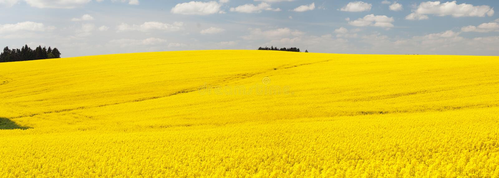 Panoramic view of flowering field of rapeseed royalty free stock photo