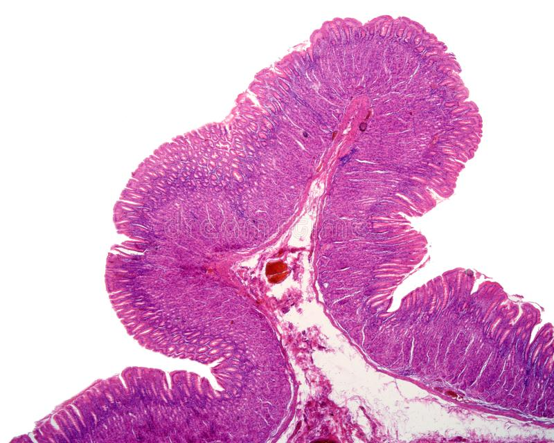 Gastric mucosa. Panoramic view of the gastric mucosa showing a fold, whose central axis is formed by very loose submucosa. The mucosa show gastric pits, fundic royalty free stock images
