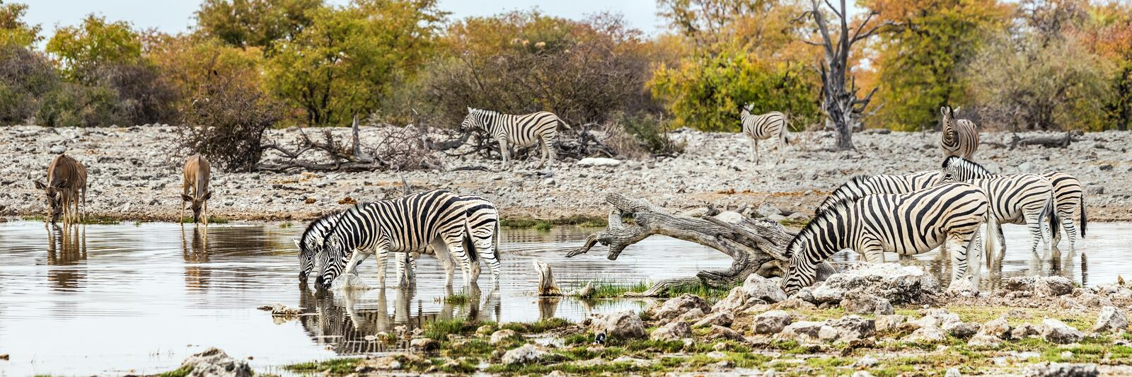 Panoramic view of Goas waterhole with Greater Kudu antelopes and Burchell`s zebras drinking. Etosha national park, Namibia stock images