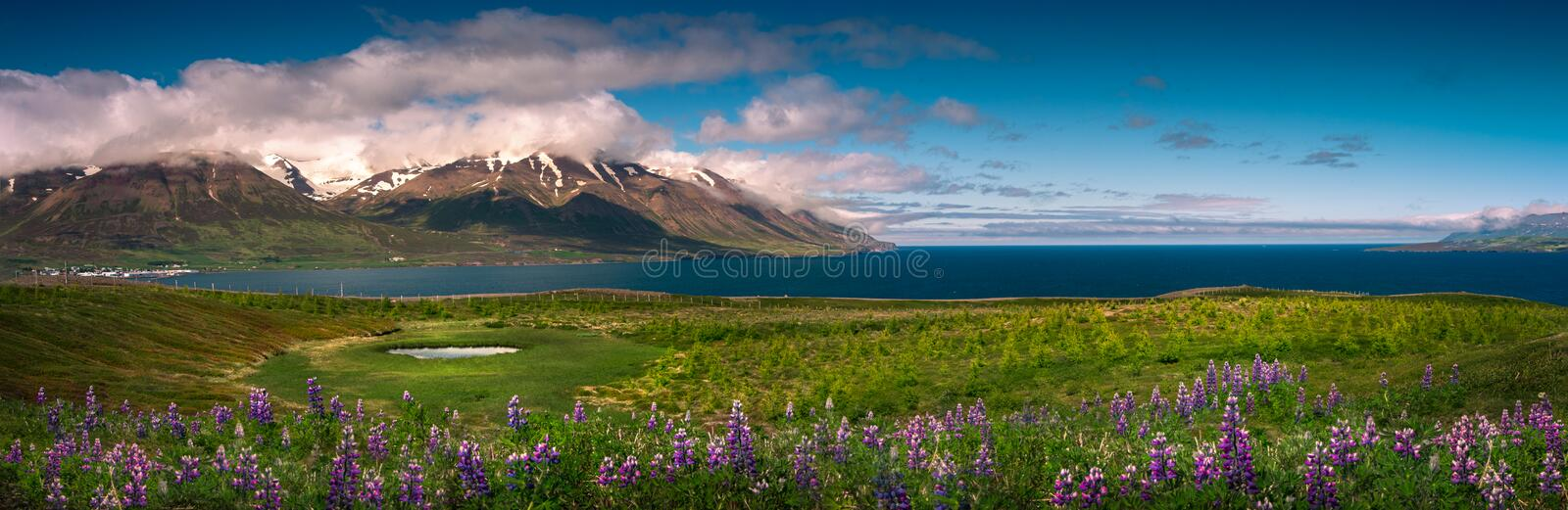 Panoramic view of lupin fields. West fjords Iceland stock photos