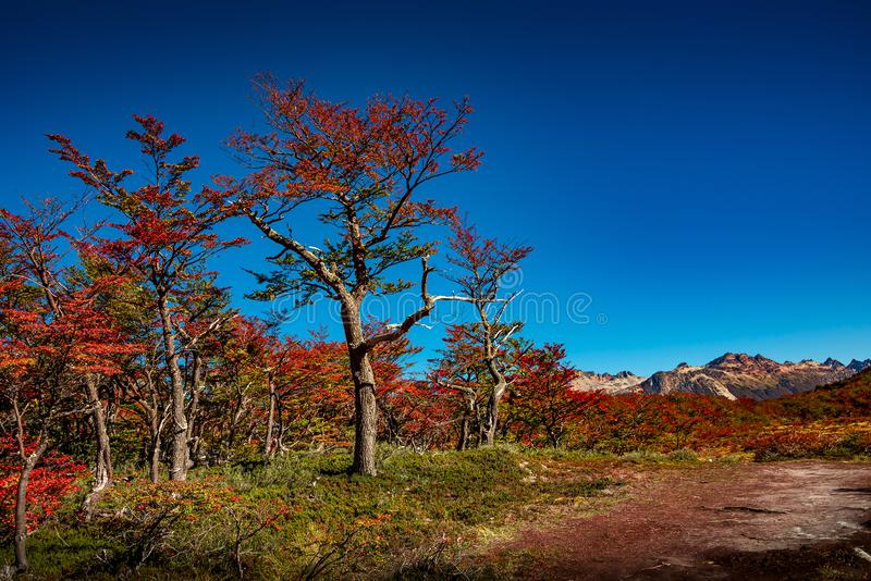 Panoramic view of magical colorful fairytale forest at Tierra del Fuego National Park, Patagonia, Argentina, Autumn time, blue sky royalty free stock image