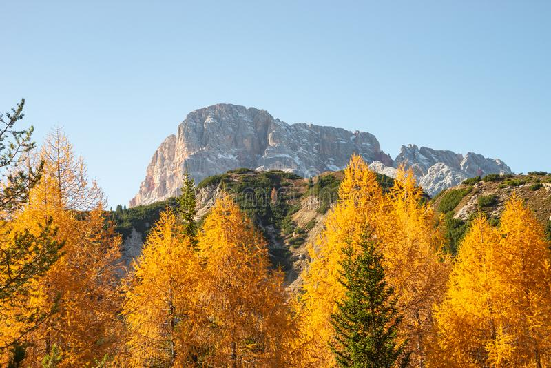 Panoramic view over larch, pine and spruce forests covering Dolomite mountain summits in Autumn October colors at sunny day, royalty free stock image