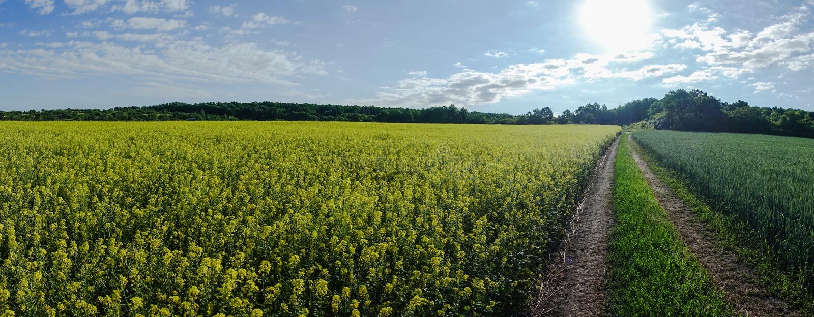 Panoramic view of rapeseed field by summertime royalty free stock image