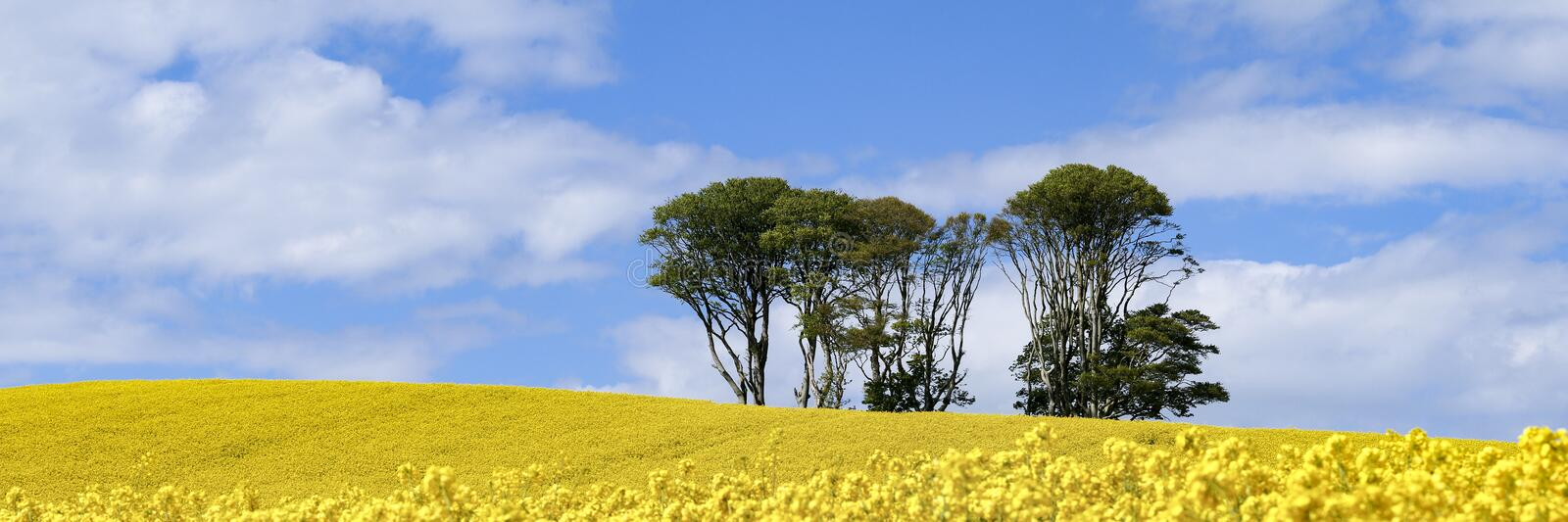 Panoramic view of small clump of trees in field of bright yellow flowers of Rapeseed Brassica napus royalty free stock image