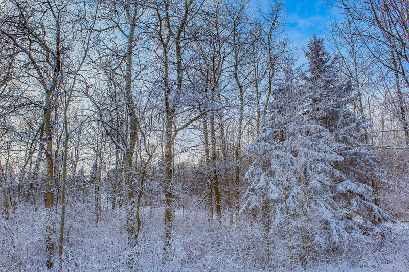 Snowy Frost Covered Treeline royalty free stock images