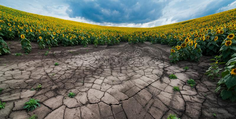 Panoramic view of soil erosion sunflower field. Panoramic view erosion of soils of the sunflower field with cracks royalty free stock image