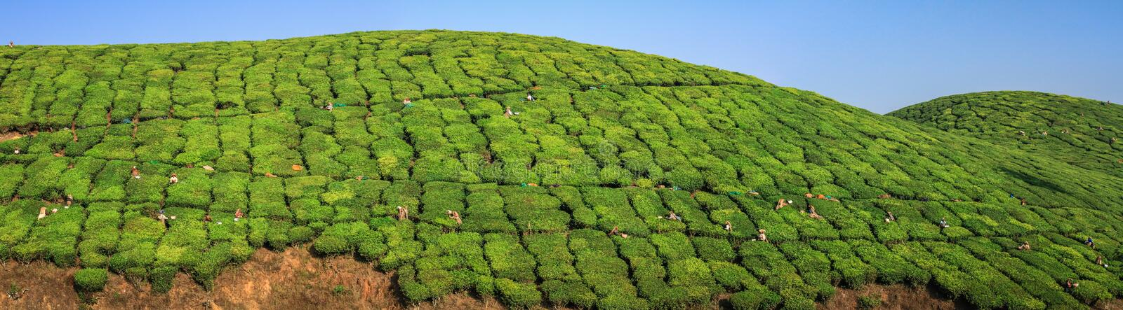 Panoramic view on tea workers harvesting tea in the green lush tea plantation hills and mountains around Munnar, Kerala, India royalty free stock image