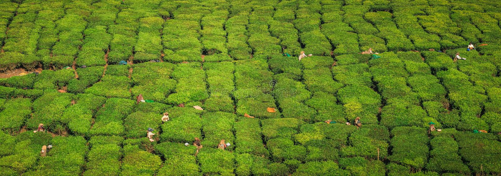Panoramic view of tea workers hasrvesting tea, on the green hills and mountains around Munnar, Kerala, India. Munnar is a town and hill station located in the royalty free stock images