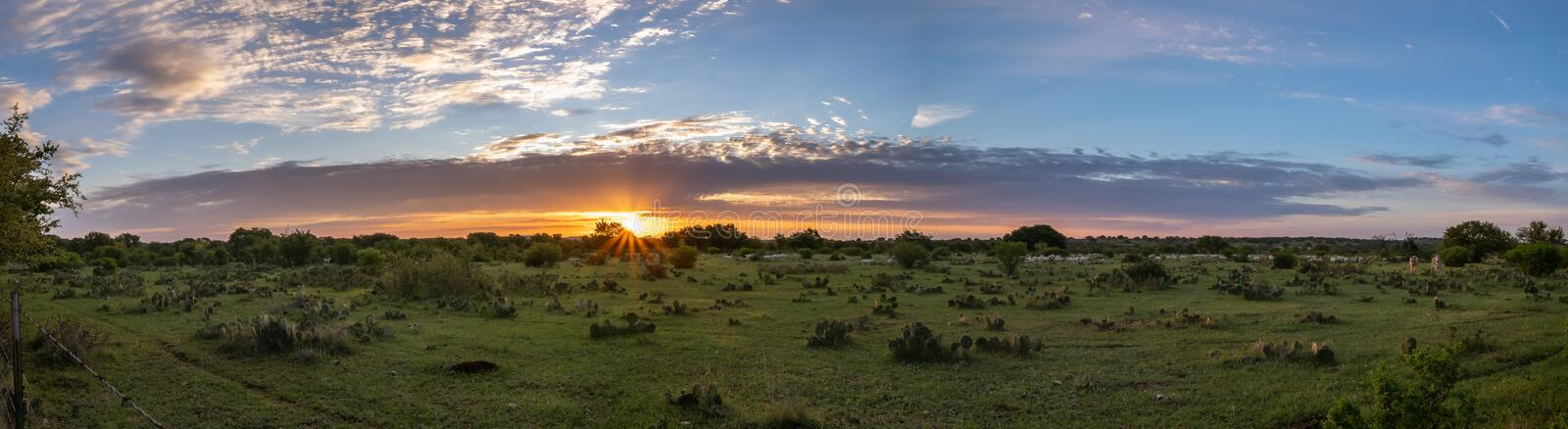 Panoramic view of Texas field at sunrise. With cactus, sheep and burrows looking on royalty free stock photos