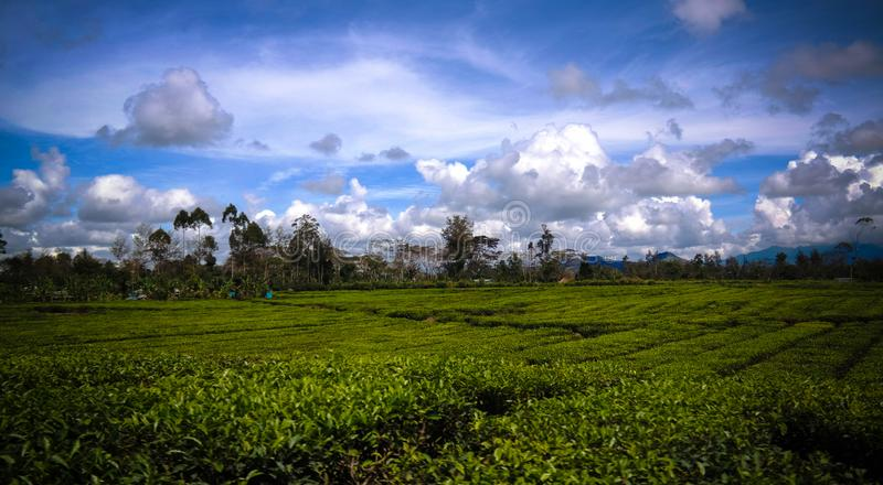 Panoramic view to tea plantation at Waga valley near Mount Hagen, Papua new Guinea. Panoramic view to tea plantation at Waga valley near Mount Hagen in Papua new stock photo