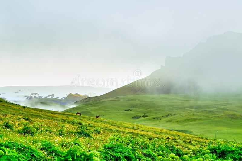A panoramic view of two horses in the middle of a meadow and many yellow flowers in the Icelandic countryside royalty free stock photography