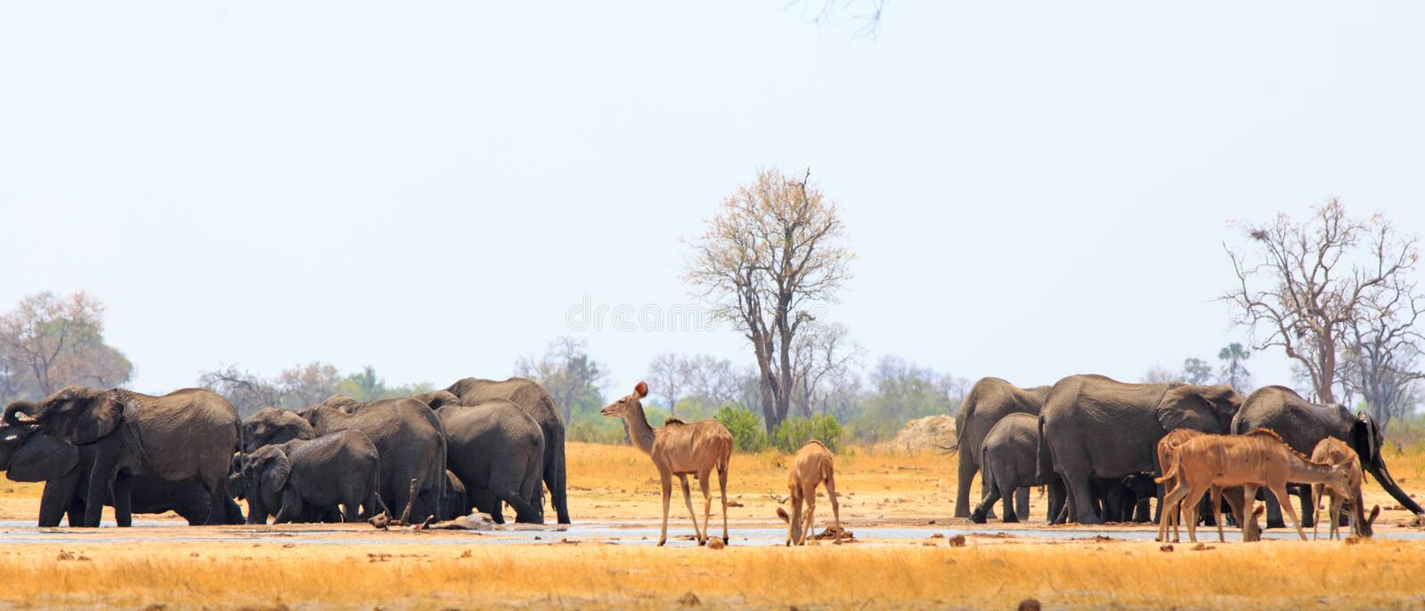 Panoramic view of a very busy waterhole with elephants and Kudu royalty free stock photography