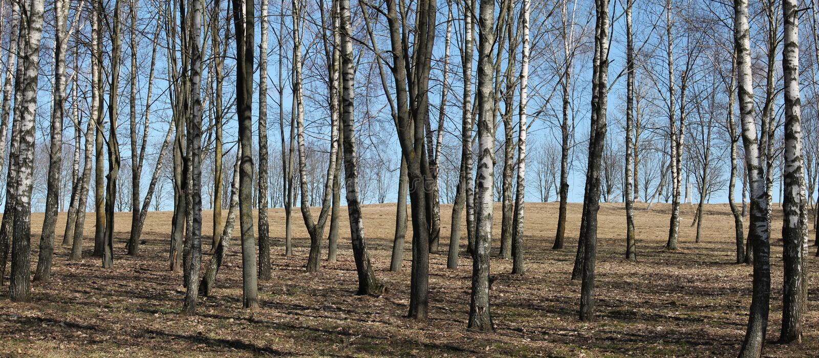 Panoramic view. Young birch forest in early spring royalty free stock photo