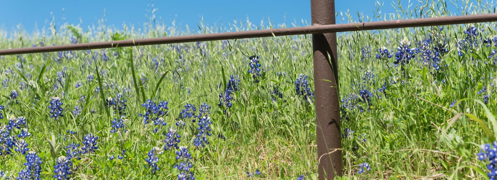 Panoramiczne blossom bluebonnet fields with rustic fence in country place of Texas, America zdjęcia stock