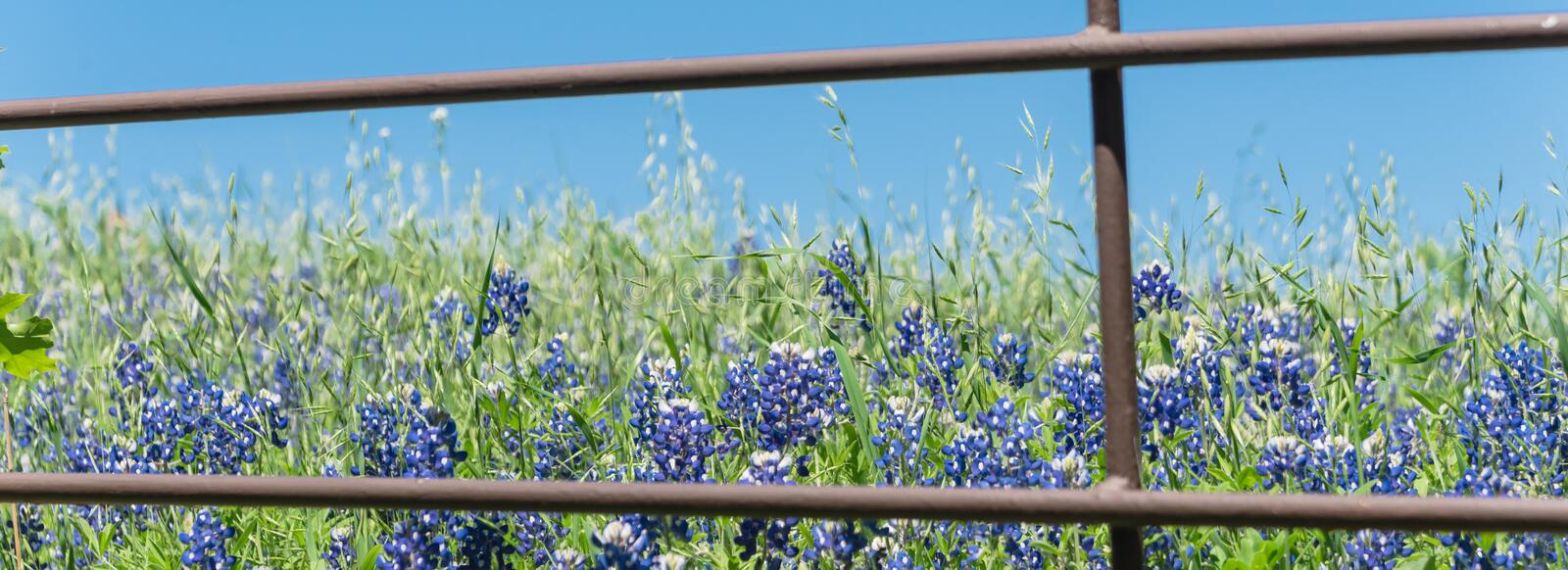 Panoramiczne blossom bluebonnet fields with rustic fence in country place of Texas, America zdjęcia royalty free