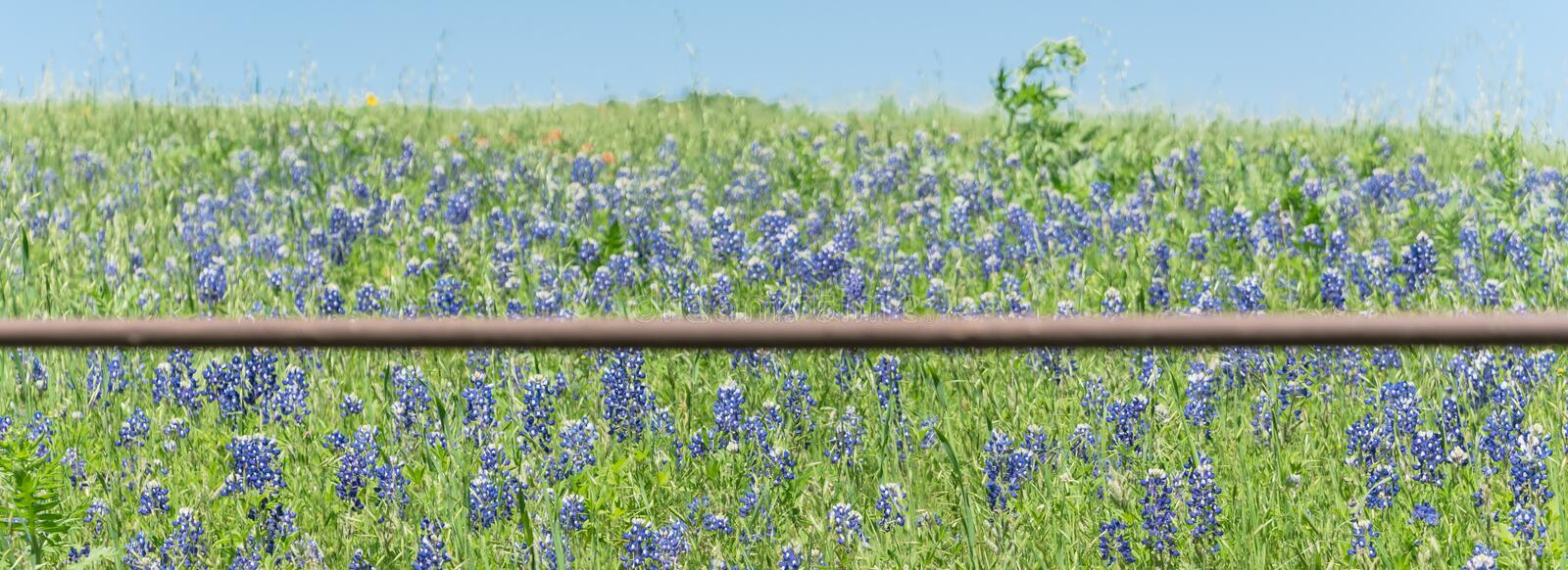 Panoramiczne blossom bluebonnet fields with rustic fence in country place of Texas, America fotografia royalty free