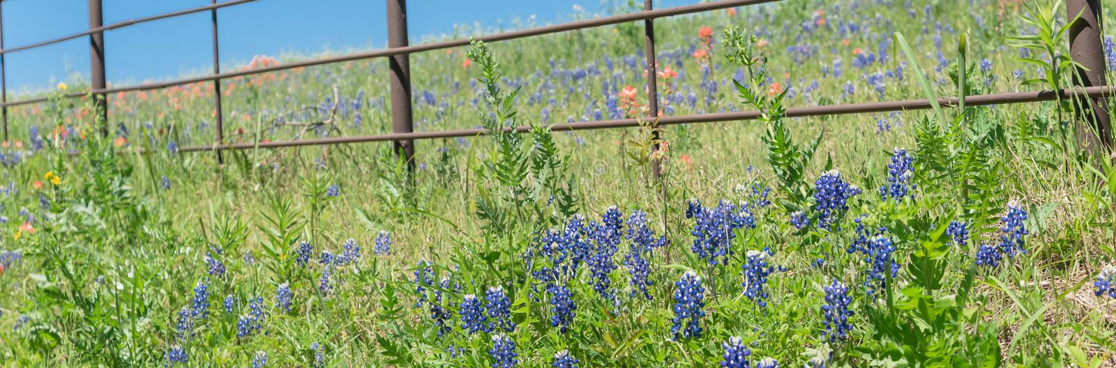 Panoramiczne blossom bluebonnet fields with rustic fence in country place of Texas, America fotografia stock