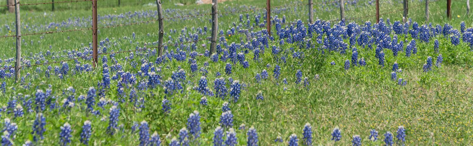 Panoramiczne blossom bluebonnet fields with rustic fence in country place of Texas, America zdjęcie royalty free
