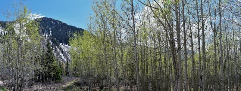 Panoramiczni widoki Wasatch Frontowe Skaliste góry od Małego Cottonwood jaru w wczesnej wiośnie z roztapiającym śniegiem, sosnami obraz royalty free