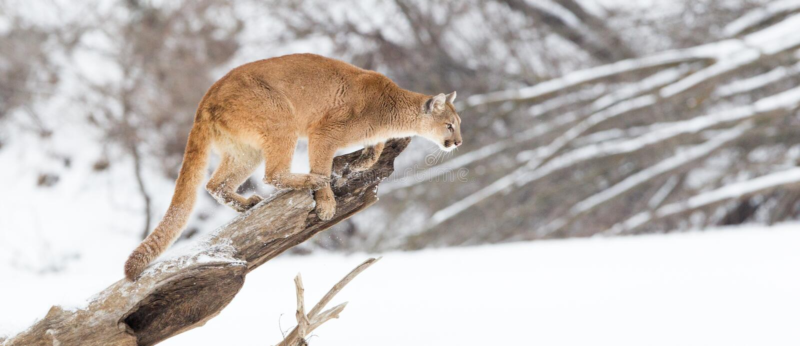 Panoramiczny halny lew fotografia stock