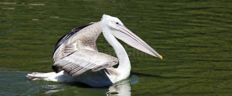 panoramiczny pelikan zdjęcia stock