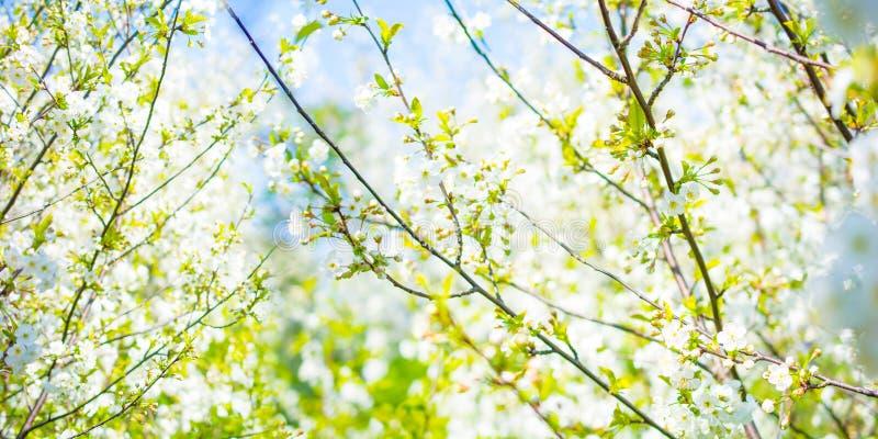 Panoramiczny widok biała kwitnie wiśnia kwitnie przeciw niebu obrazy stock