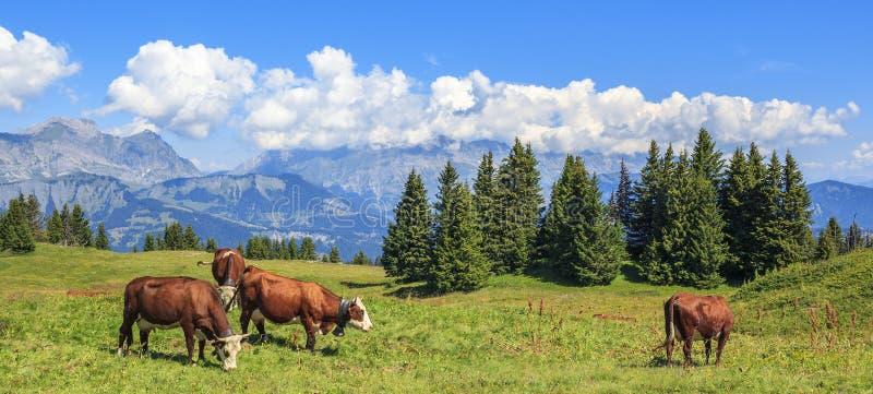 Panoramiczny widok brown krowy zdjęcia stock