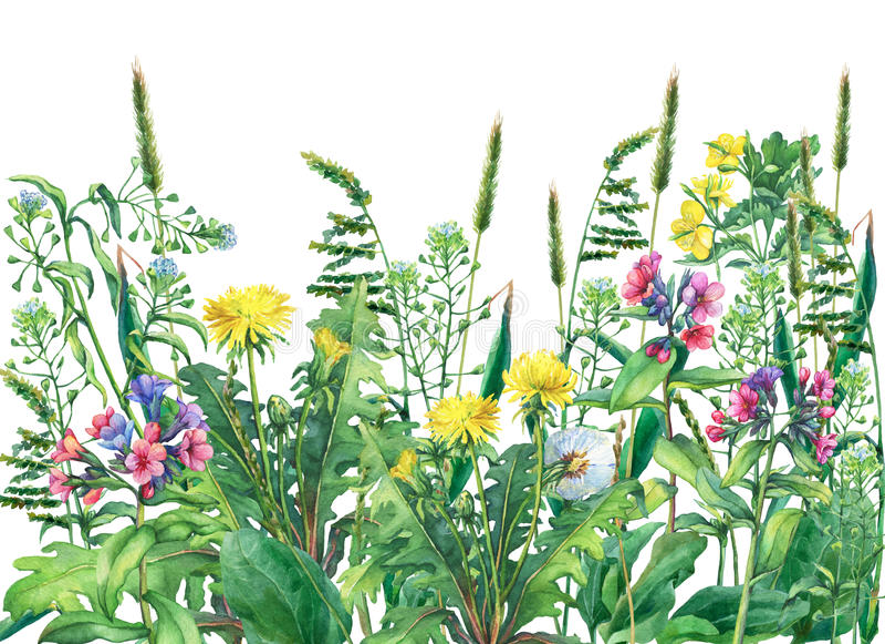 Panoramiczny widok dzicy łąka kwiaty, trawa i, odizolowywający na białym tle royalty ilustracja
